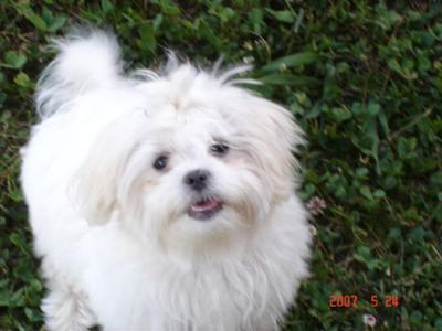 Fluffy - Maltese Cross Shih Tzu