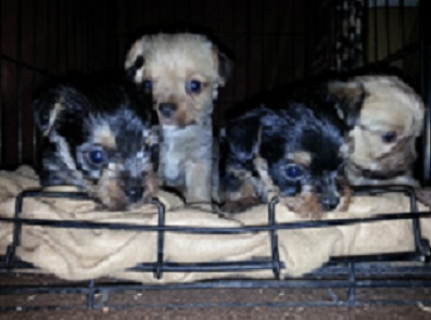 Guinesses (Maltese male) and Dee Dee female full toy Yorkie's pups