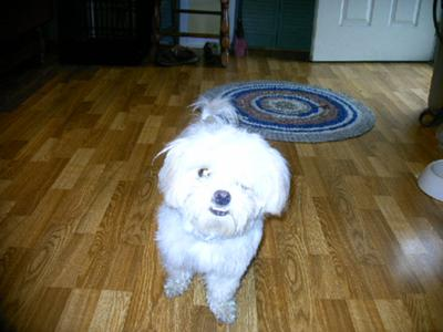 My Maltese puppy MOLLY