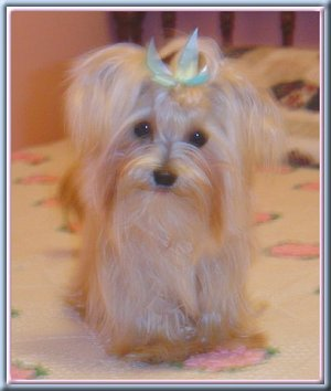 Angel the Yorkie Maltese