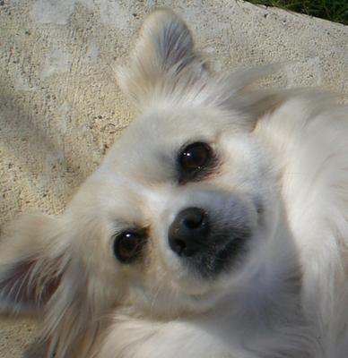 Buffy the Maltese Chihuahua cross?