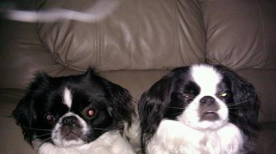 Oreo with his Jatese brother Bandit