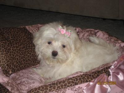 Maltese Puppy - Lacy Lou