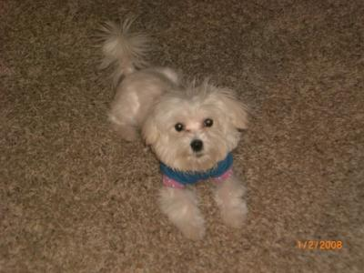 Lucy the adorable Maltese dog