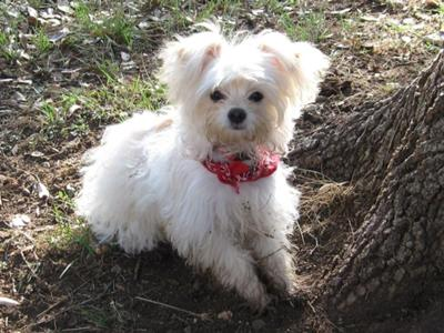 Gus is out of a long haired Chihuahua male bred to a Maltese-Chihuahua mix