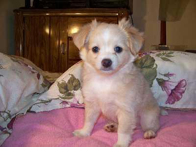 Mickey the Malchi puppy