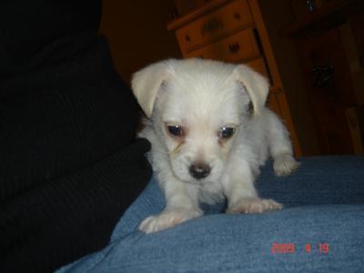Scooter the Tiny Malchi Puppy