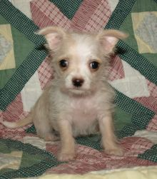 Malchi puppies picture from the breeder