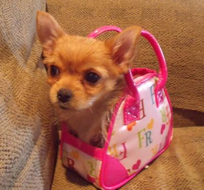 She fits in a play puppy purse!