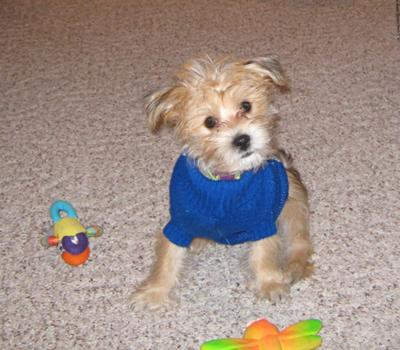 House training morkie puppies qld