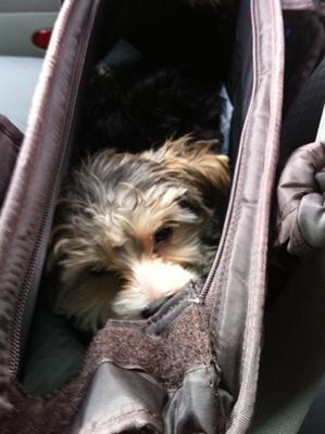 Mortimus in his doggie bag