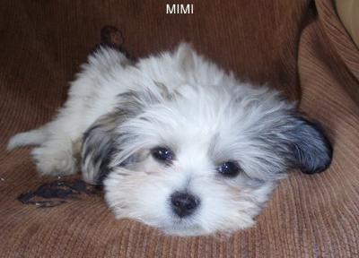 Mimi the Mal-shi Relaxing
