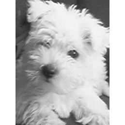 Hugs and Kisses from a Maltese Westie mix!