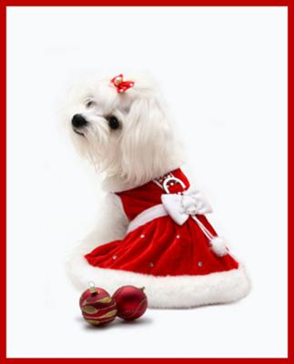Bella's the Maltese First Christmas
