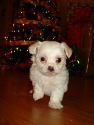 The Cutest Christmas Maltese Bichon Frise Puppy