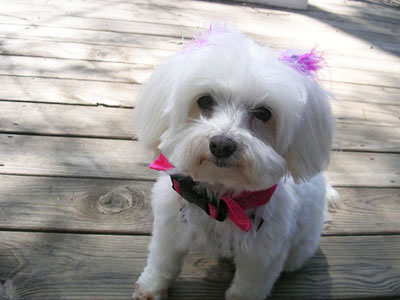 Maltese dog bow