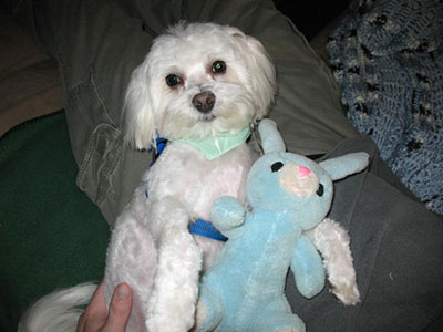 Maltese dog with stuffed animal