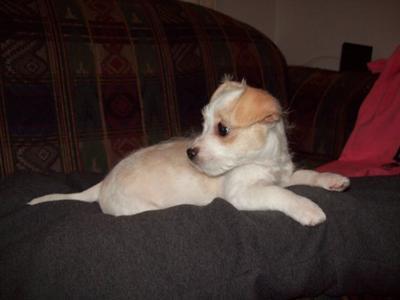 Maltese Chihuahua Mix - Mooki