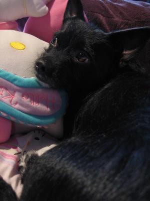 Maltese Chihuahua Mix - Bailey Boo