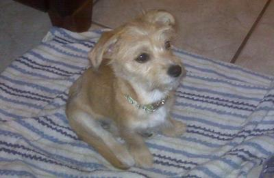 Jack Russell Maltese Mix Puppy Images & Pictures - Becuo