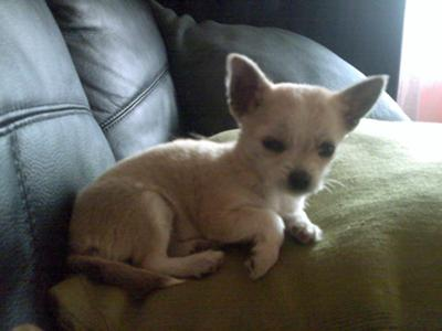Pics For > Chihuahua Maltese Terrier Mix
