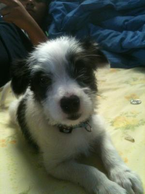 Maltese Corgi Jack Russell Terrier Mix - Molly