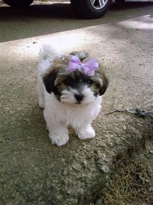 Havanese Maltese Puppies