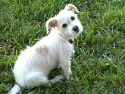 Jack Russell Terrier Maltese Mix