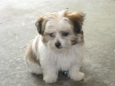 Maltese Lhasa Yorkie Longhair Chihuahua Mix Cooper