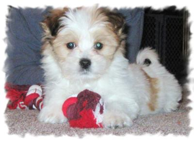 Maltese Papillion puppy Rascal at 9 weeks old