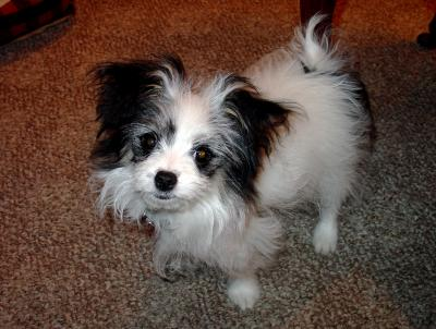 Bella Cutrone the Maltese Papillon Puppy