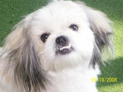 Pekingese Cute Dog