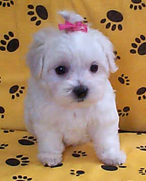 Maltese Puppies on Maltese Pekingese Puppies   Chloe