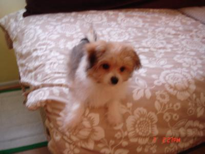 Maltese Pomeranian puppy Cody at 6 months