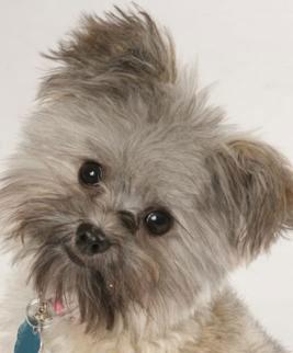 Maltese Pomeranian puppy