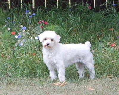 Cutest white Poodle hybrid