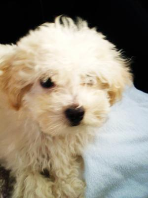 One of the cutest Maltipoo puppies ever