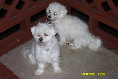 Desi my Maltese, and Lucy my Havanese