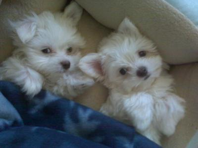 Puppies  Adoption on Maltese Puppies   Hamlet   Zeus