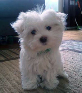 Maltese puppy dog names - Mikey