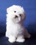 Maltese Puppy - Chico