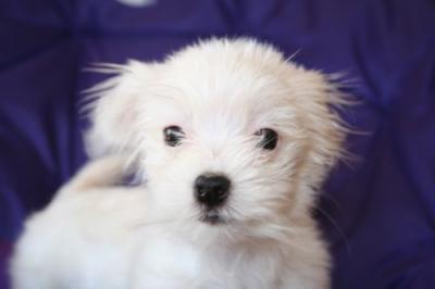 Maltese Rescue - Annie