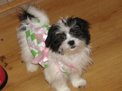 Maltese Shitzu Mia at 13 weeks old!!