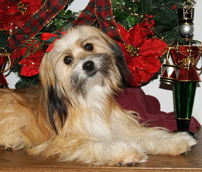 Brown Maltese Shih Tzu mix