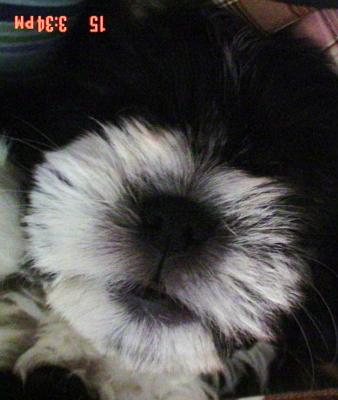 Shih Puppies Care on Maltese Shih Tzu Poodle Mix Mika 21342253 Jpg