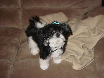 Shih  Puppies on Maltese Shih Tzu Puppies   Gabi