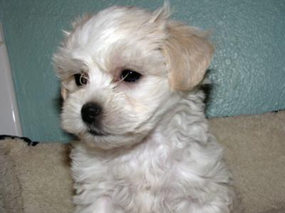 Maltese Shih Tzu puppy