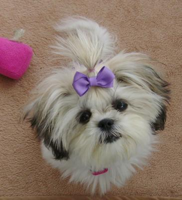 Maltese Shih Tzu - Willow Grace
