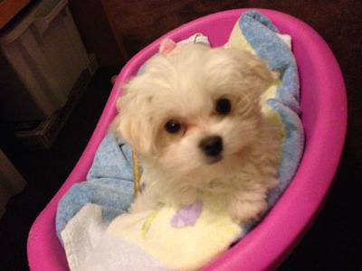 Lola the small Maltese Puppy