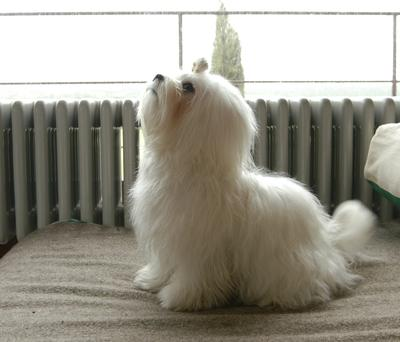 My Maltese Toy, Inga, four pounds.
